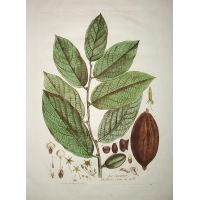 Cacao - Theobroma cacao - N. Regnault 1774-80